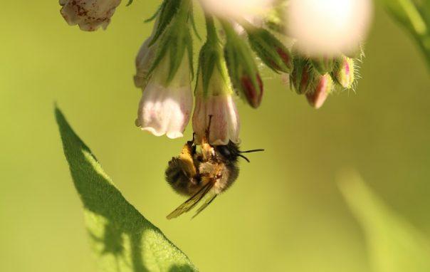 Accueillir les pollinisateurs au jardin en leur fournissant le gîte et le couvert, pourquoi, comment ? @ Centre culturel de Rossignol | Tintigny | Wallonie | Belgique