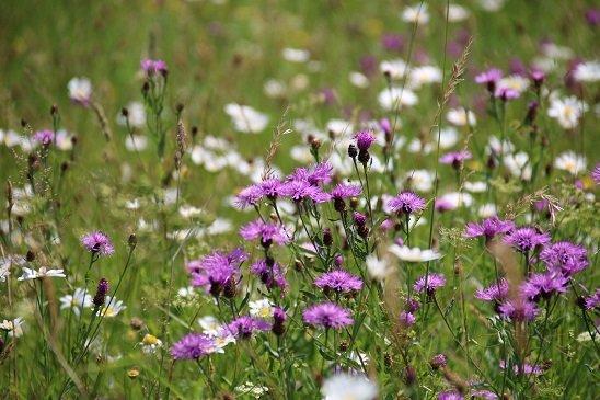 A la découverte de la prairie naturelle, un milieu accueillant pour les pollinisateurs @ Maison du Parc naturel de Gaume, château de Rossignol | Tintigny | Wallonie | Belgique