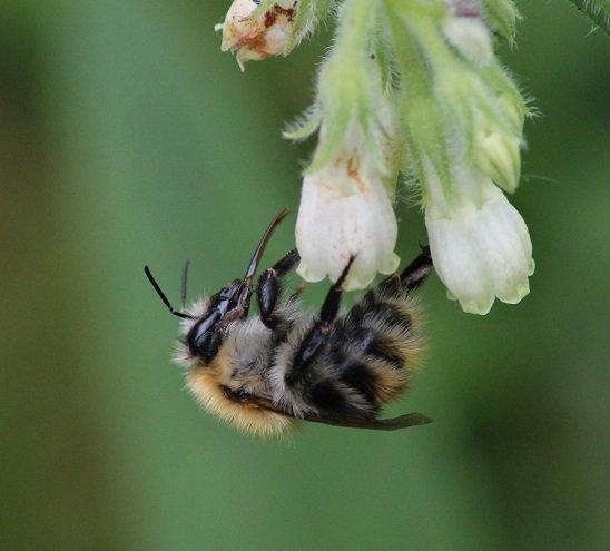 Exposition de photos grand format de pollinisateurs sauvages de chez nous @ Maison du Parc naturel de Gaume, château de Rossignol | Tintigny | Wallonie | Belgique