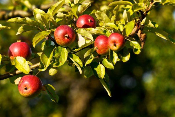 Techniques de récolte des pommes @ dans un verger encore à préciser en Gaume